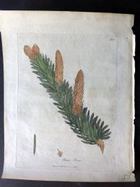 Woodville Medical Botany 1790's Hand Col Print. Pinus Picea. Pine Cones